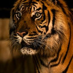 Sumatraanse tijger 3556