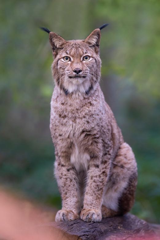 Lynx Portret -  Afgelopen week ben ik in Duitsland geweest in de hoop een lynx (goed) te fotograferen.<br /> <br /> De eerste paar dagen heb ik ze w