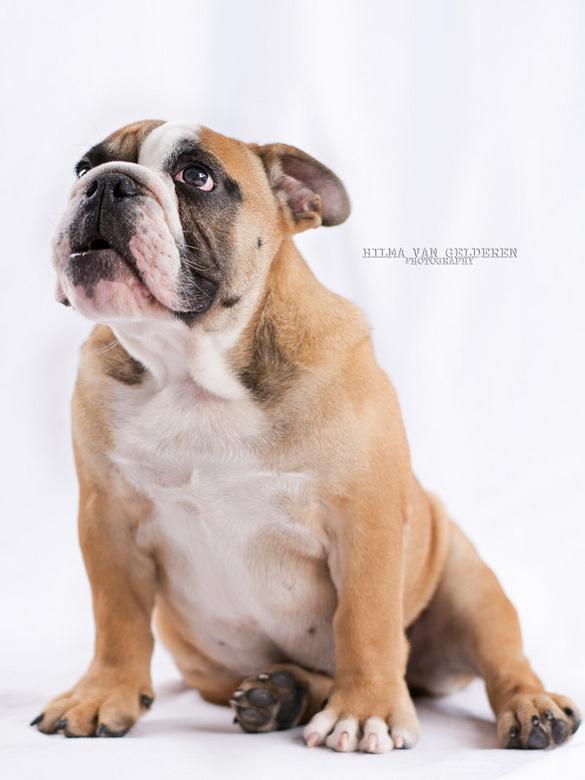 Bowie - Dit is Bowie, de Engelse Bulldog pup van mijn buren.
