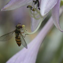 Een zweefvliegje op een hosta!