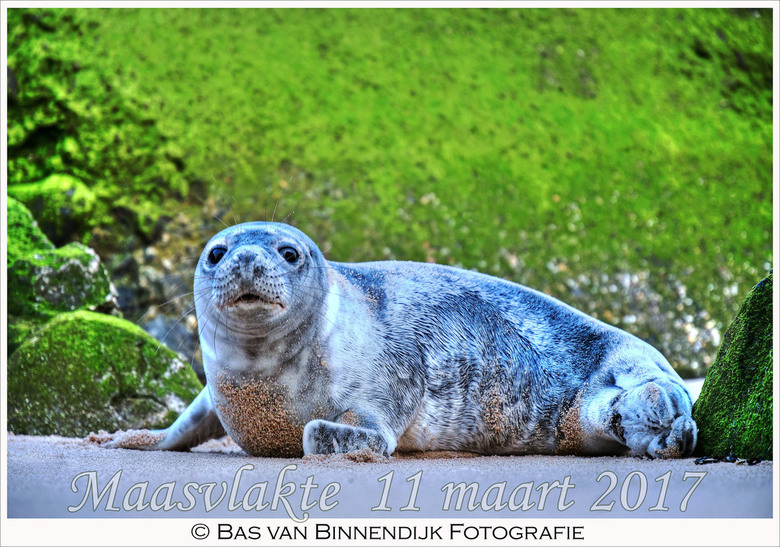 Seal At Maasvlakte