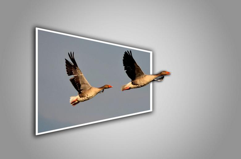 Ganzen - Ganzen in vogelvlucht