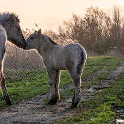 Kussend paard