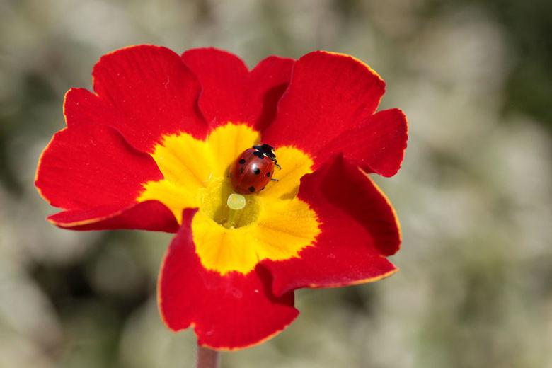De kleuren van een primula - Ik heb een potje met primula's staan, en daar vond ik vanmorgen dit beestje in.