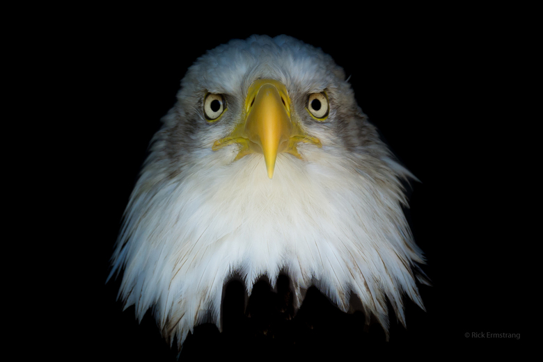 The piercing eyes of a Bald Eagle