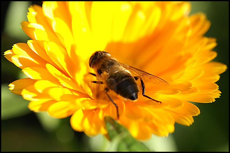 Wesp op bloem -