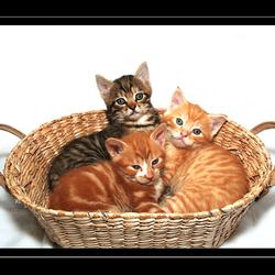 Kittens in een mandje