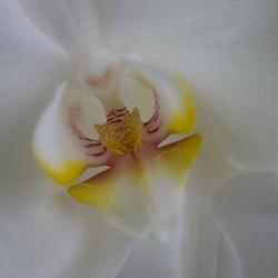 Hart van een orchidee