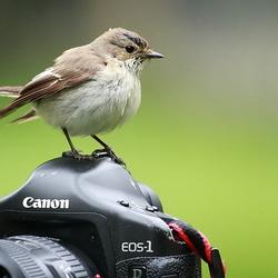 Bonte Vliegenvanger op de camera