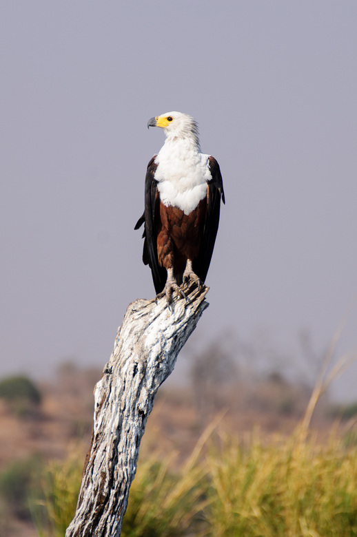 Afrikaanse Visarend - Afrikaanse visarenden zijn schitterende vogels om te fotograferen, zeker wanneer ze zoals deze keurig stil zitten op een dode bo