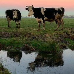 Reflection cow