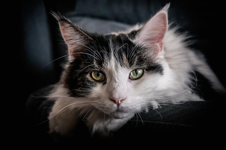Cat Blues - Hopelijk een ieder toch een leuke kerst gehad.<br /> Hier een foto van Omar onze jongste Maine Coon kater<br /> gr.Rob<br /> <br /> Wa
