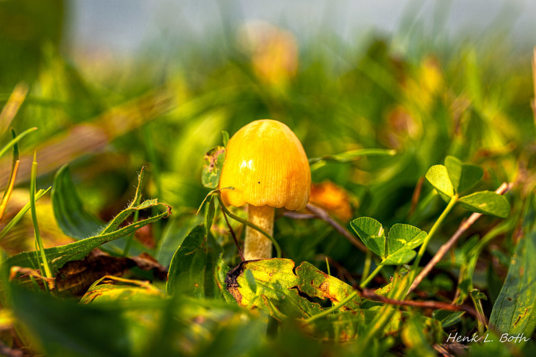 Gele paddo in een waterig zonnetje - Een heel kleintje...