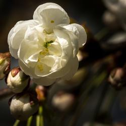 Bloesem, het mooie van de Lente