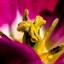 Binnen in de tulp