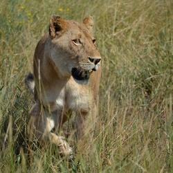 Leeuw nadert, spannend! Kruger Park