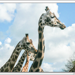 Giraffengroep