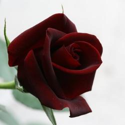 Black Magic, bloem