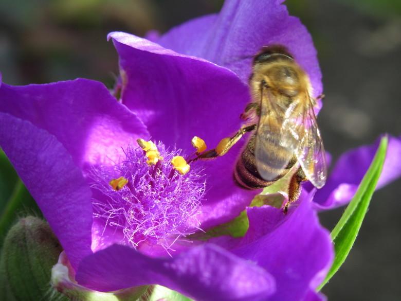 Bij op bloem. - Bij die nectar heeft gezocht in bloem.