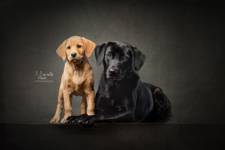 The blond and the black one - Twee labrador retrievers uit de jachtlijn. De kleine blonde is 9 weken oud en nu al grote vrienden met de zwarte lab. Ge