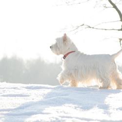 westie in de sneeuw