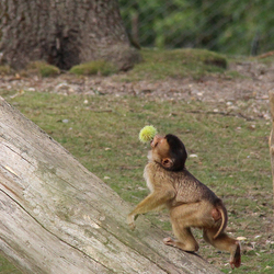 Nogmaal het aapje
