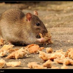 De bruine wilde rat.