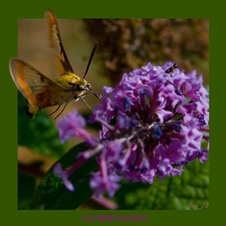 de colibrievlinder