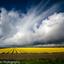 Dreigende wolken boven tulpenveld