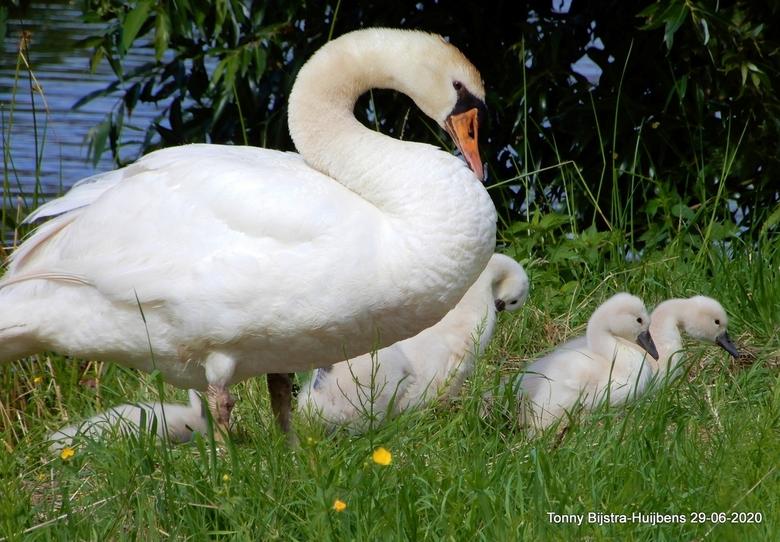 we zijn er..... - ziezo, de 4 jonge zwaantjes zijn nu ook op het droge, er was geen gevaar volgens de ouder-zwaan.<br /> mooie dag vandaag, dank voor