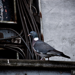 Eenzame duif