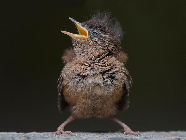 Winterkoning - Deze winterkoning had hier zojuist het nest verlaten. Op de grond aangekomen was het direct bededelen om voer.<br /> Het is aandoenlij