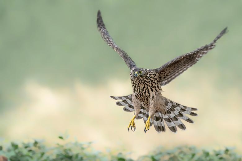 Prepare for landing. - Een juveniele Havik maakt zich klaar voor de landing.<br /> <br /> Bedankt voor de leuke en bemoedigende reacties en stemmen