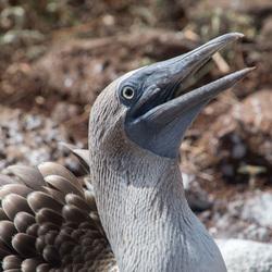 Blauwvoet jan-van-gent Galapagos