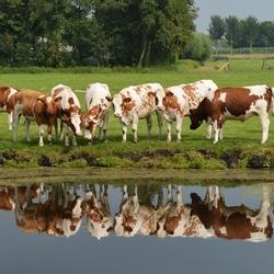 Koeien in de Middelpolder