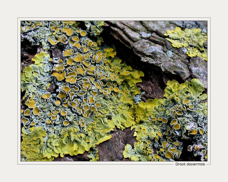 Groot dooiermos - Naast de paddenstoelen van de vorige foto, was op de boom ook dit mooie mos te vinden. Na wat zoekwerk op Google kwam ik uit bij de
