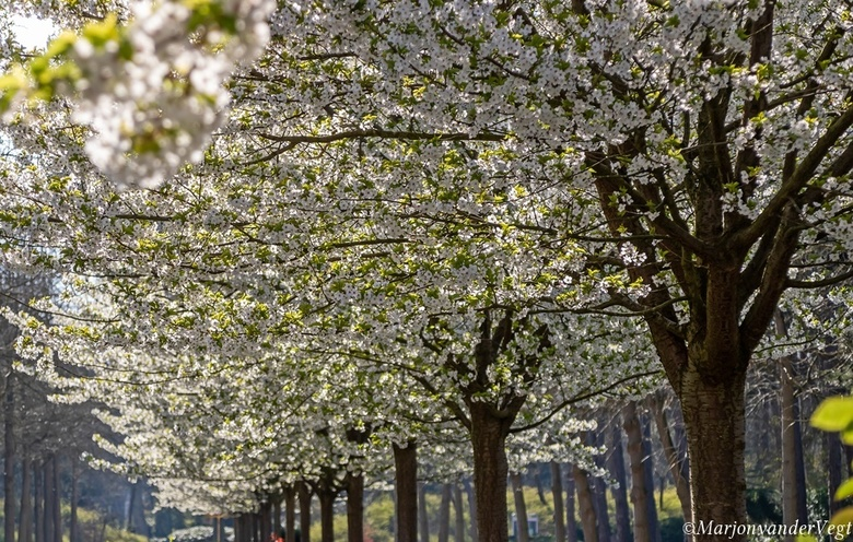 Helaas voorbij - Helaas zijn de bloesembomen alweer uitgebloeid, het is zo'n vrolijk, feestelijk gezicht, waar je nooit van ophoudt om te geniete
