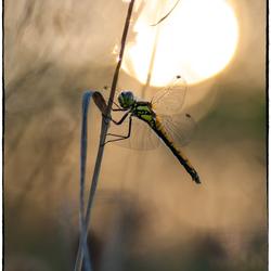 libelle tegen ondergaande zon