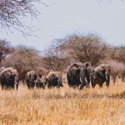 Tarangire olifanten