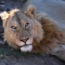 Leeuw Ngorongoro Krater