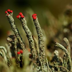 Bekertjesmos in bloei