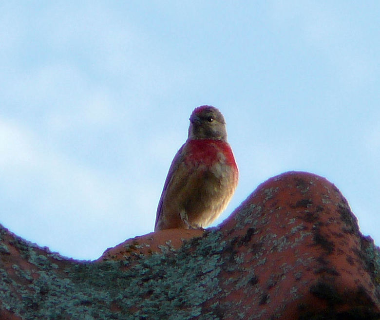 barmsijsje? - afgelopen week zat deze kleine vogel op de dakpannen van het buurhuis. nadat ie was weggevlogen heb ik het niet meer gezien. deze soort