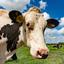 Koeienportret