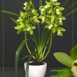 Cymbidium Earlisue Minto