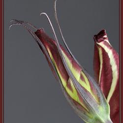 een bloem in knop
