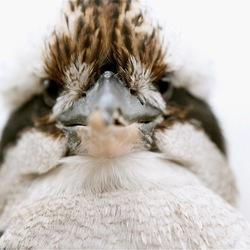 Scheel kijken naar een kookaburra