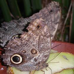 Nachtpauwoog / Butterfly
