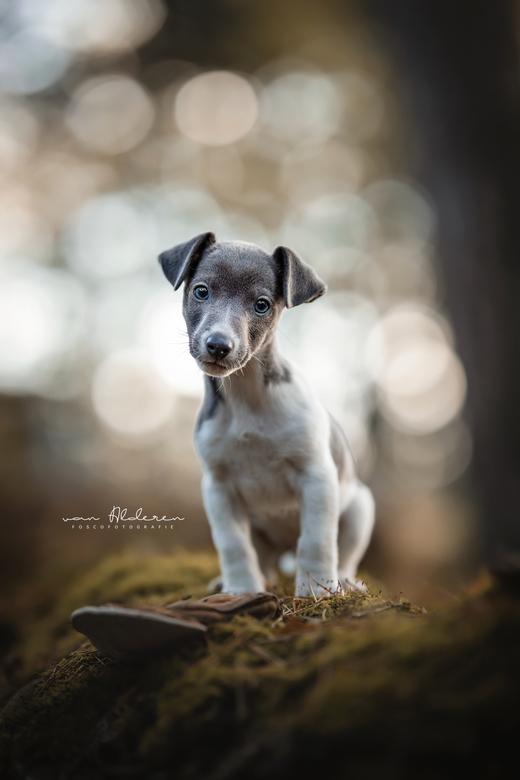 Lou - Jack Russel Terriër puppy Lou Foscofotografie