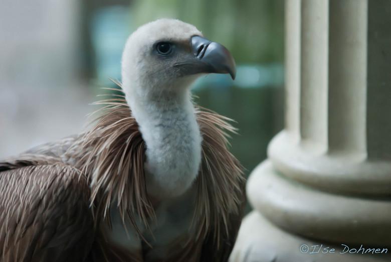 Vale Gier - Vale Gier met prachtige veren en intense blik
