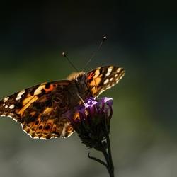distelvlinder in tegenlicht